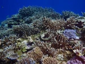 西表島はサンゴがきれいなんです