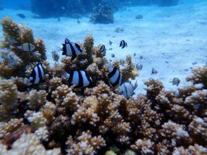 サンゴの復活うれしいな